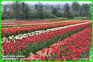 Tragi Tulipanów/ Sieraków